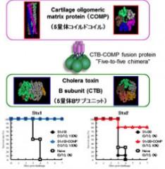 食中毒大腸菌O157に対するトキソイドワクチンと治療用モノクロナル抗体の研究開発